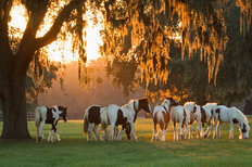 Gypsy Vanner Weanlings Mural Wallpaper