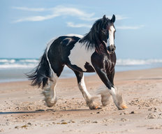 Gypsy Vanner's Day at the Beach Wallpaper Mural