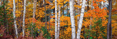Halfmoon Lake Birches, Upper Peninsula, Michigan  Wallpaper Mural