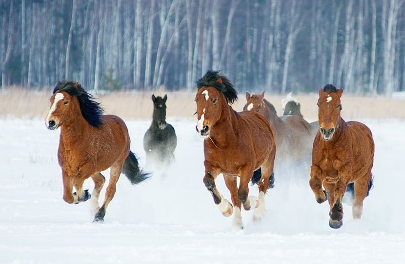 a herd of six horses galloping through a snowy field