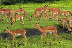 Herd of Impala Wall Mural