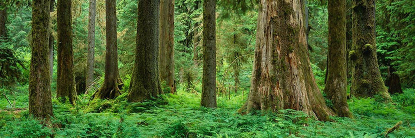 Hoh Rainforest In Olympic National Park Wall Mural