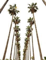 Hollywood Palms Wall Mural