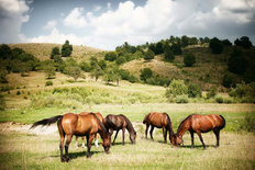 Horses Grazing In A Pasture Wallpaper Mural