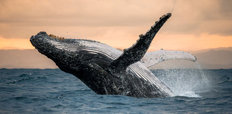 Humpback Sunset Wall Mural