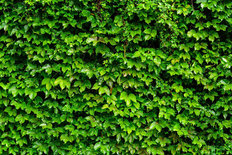 Wall Of Ivy Wall Mural