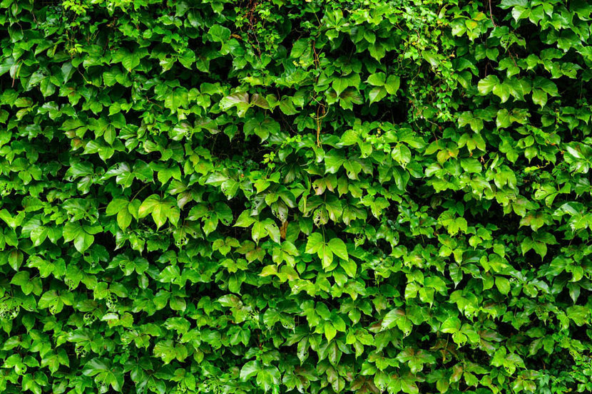 Background of green ivy plants covering a wall