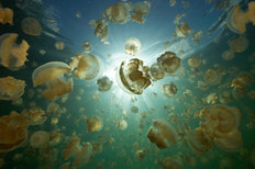 Jellyfish Lake And Sunball 2 Mural Wallpaper