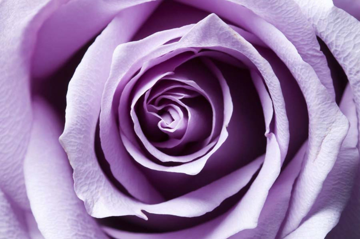close up view of a purple rose blossom
