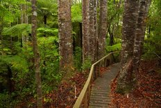Kauri Trees And Walking Path Wall Mural