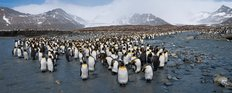 King Penguins On South Georgia Island Wall Mural