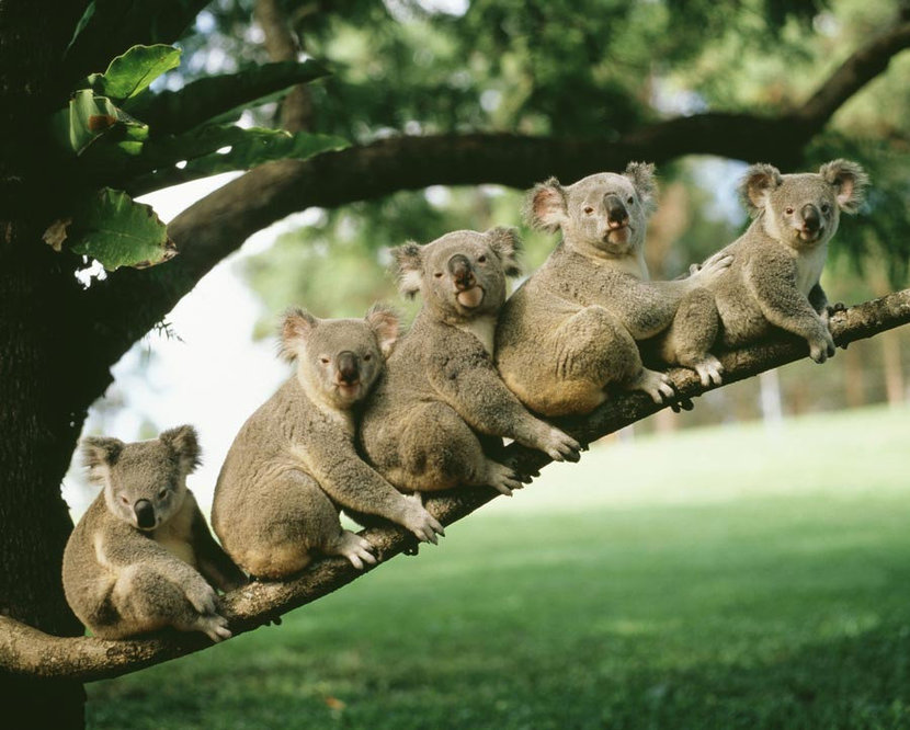 Group of Koalas sitting on a branch