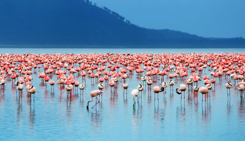 Large group of pink flamingos congregates in a blue lake