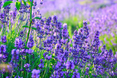 Summer Lavender Mural Wallpaper