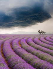 Lavender Fields in a Storm Wallpaper Mural