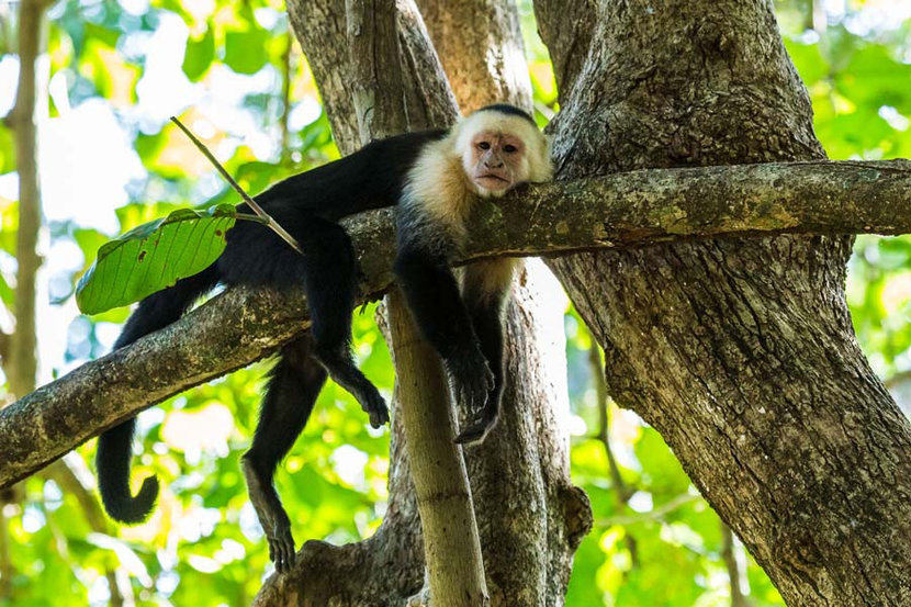 capuchin monkey rests on a tree branch in a sunlit jungle