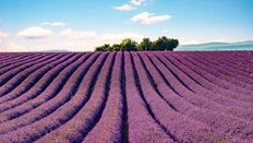 Lavender Field South Of France Wall Mural