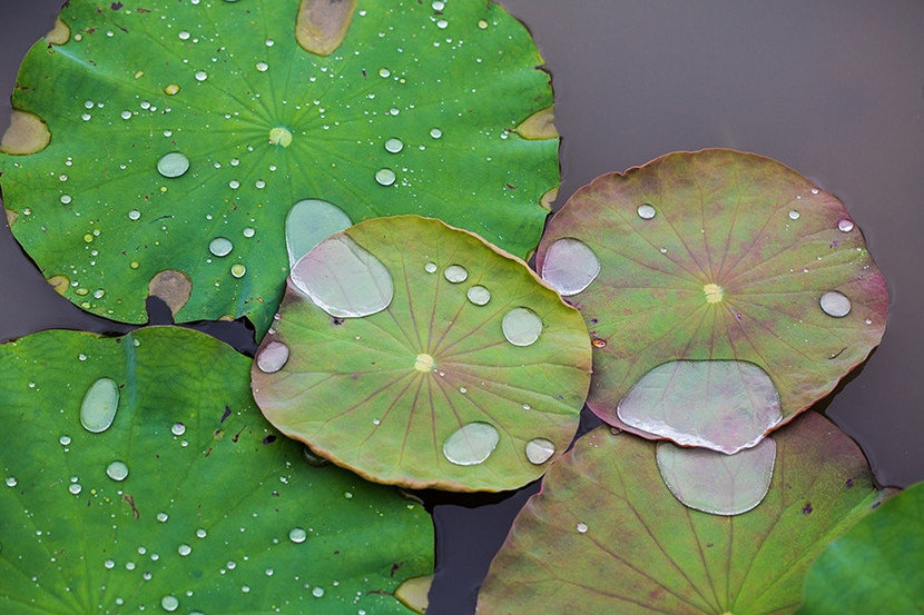 Lily Pond Wall Mural