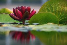 Lily Reflections III Mural Wallpaper