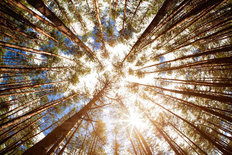 Looking Up Summer Forest Mural Wallpaper