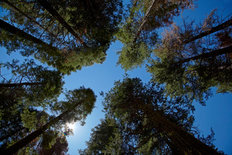 Looking Up - Tuolumne Sequoia Grove Mural Wallpaper