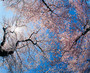 Low Angle View Of Cherry Blossom Trees Wall Mural