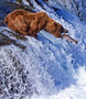 A Grizzly Bear stops by a roaring waterfall for a salmon lunch