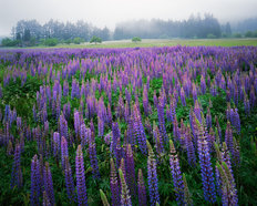 Lupine Meadow Mural Wallpaper