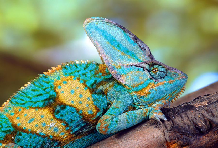 Close up photograph of a multi-colored veiled chameleon grasping a branch