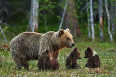 Mama Bear and Three Cubs Mural Wallpaper