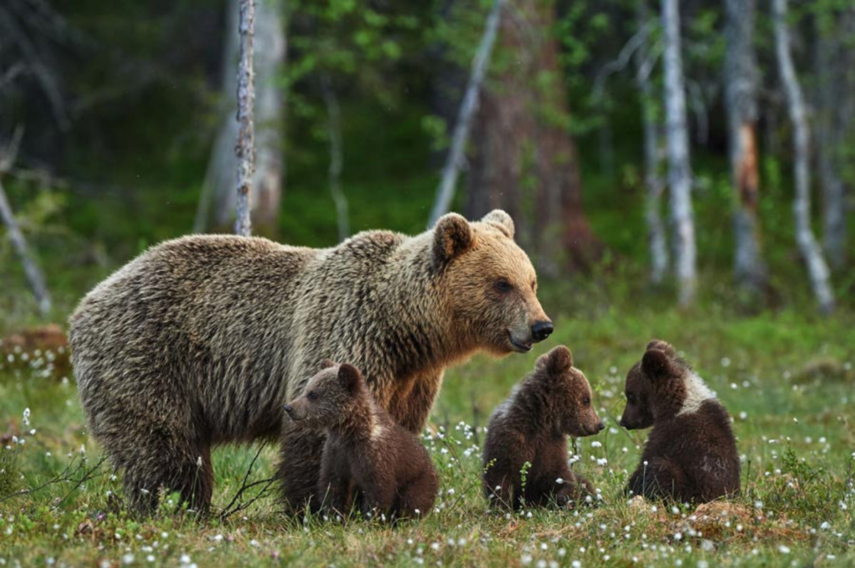 Mama Bear and Three Cubs