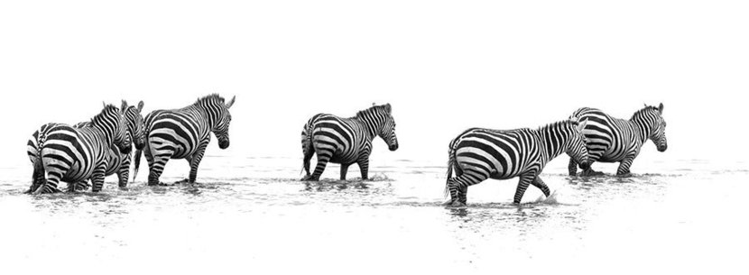 Migration of the Zebras Wall Mural