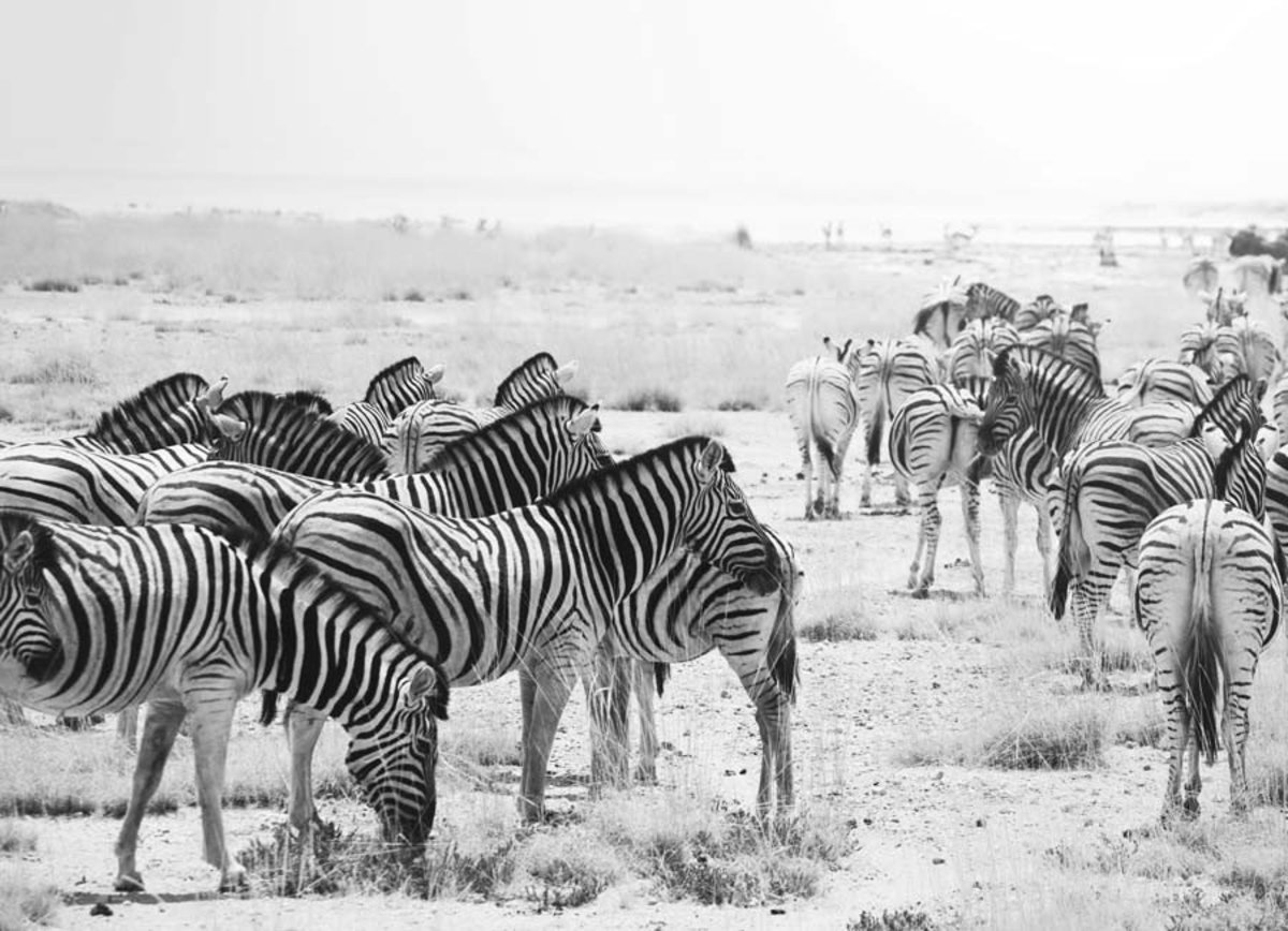 a dazzle of zebras in black and white style.