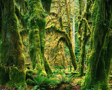 Moss Covered Big Leaf Maples, Hoh Rain Forest Mural Wallpaper
