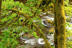 Moss Covered Maple, Eagle Creek Mural Wallpaper