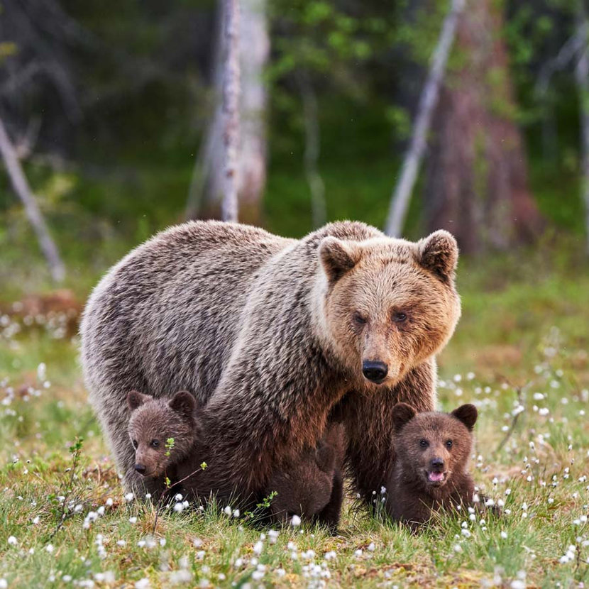 A brown mother bear protects her two young cubs