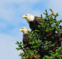 Two eagles perch atop a coniferous tree