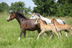 Mares And Foals Running In A Pasture Mural Wallpaper
