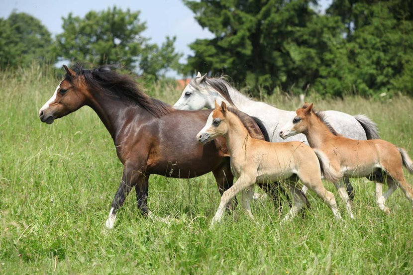 Mares And Foals Running In A Pasture