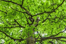 Oak Tree Crown With Spring Green Foliage Wall Mural