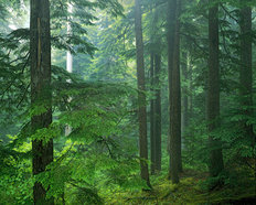 Old Growth Forest Mural Wallpaper