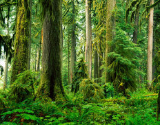 Old Growth Rainforest, Carbon River Valley Wallpaper Mural