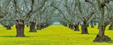 Old Walnut Orchard With Yellow Legume Ground Cover Wall Mural