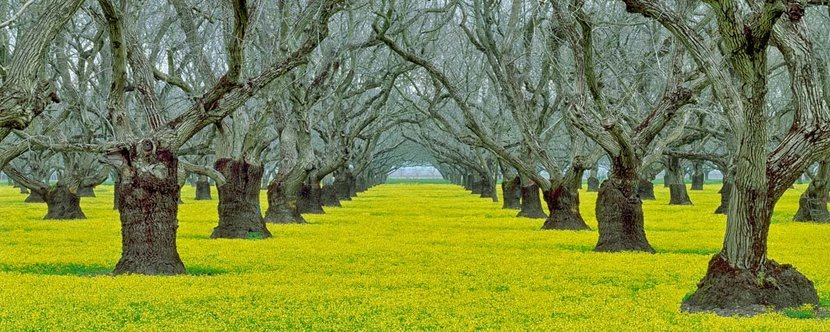 Old-Walnut-Orchard-With-Yellow-Legume-Ground-Cover-Wall-Mural.jpg