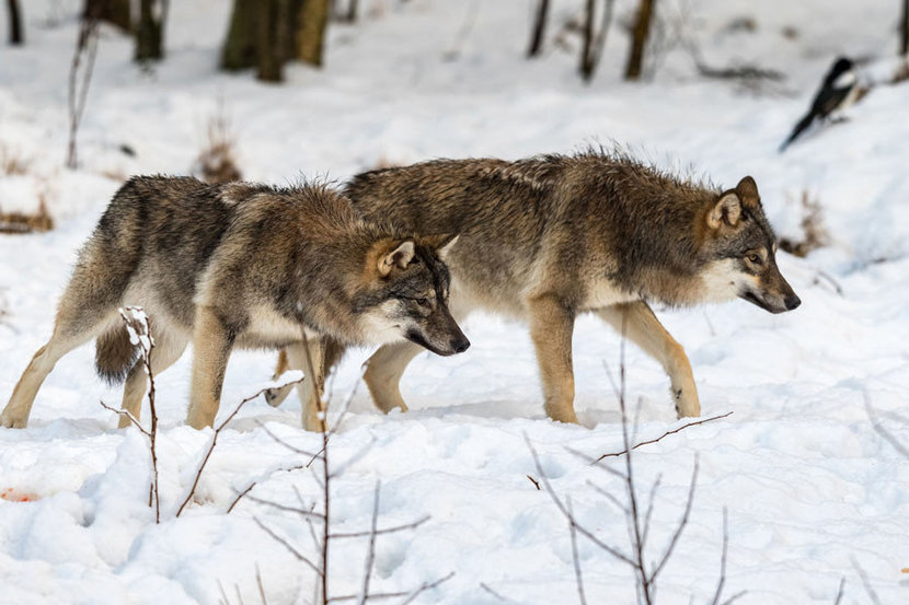 Two gray wolves crouch and prowl in a winter landscape