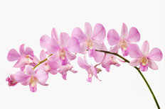Orchid I Wall Mural