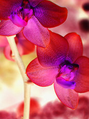 Orchid Lights Wallpaper Mural