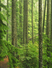 Oregon Old Growth Forest Wallpaper Mural