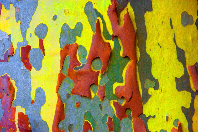 Overly Saturated Bark of a Eucalyptus Tree  Wall Mural