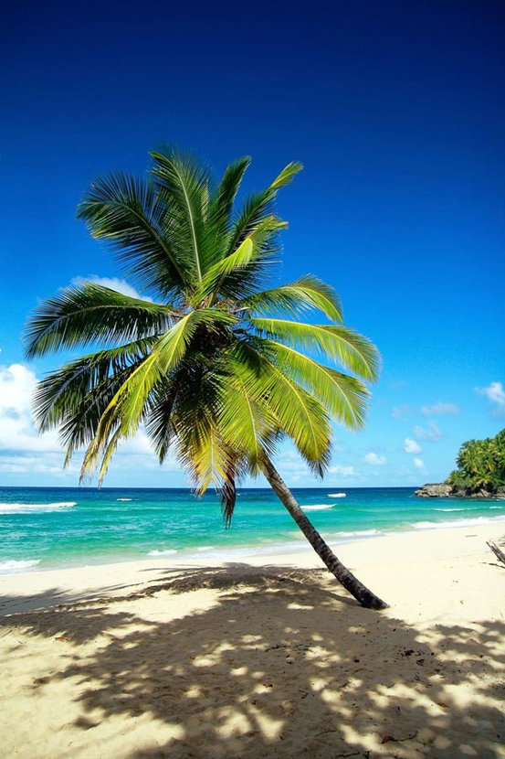 Single palm tree grows on a white sand beach in this tropical